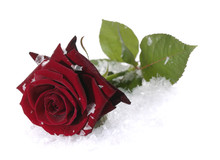 Red Rose On The Snow With Water Droplets On Petals