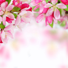 Fototapeta Soft spring apple flowers background