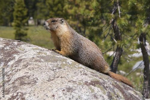 Poster de jardin Parc Naturel Yellow-bellied marmot in Tuolumne Meadows, Yosemite