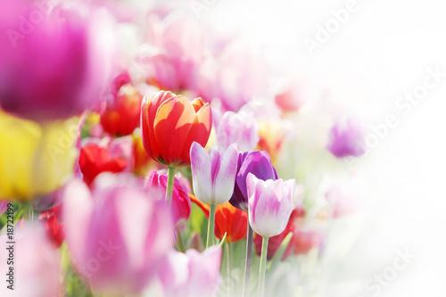 Plakat tulipany, highkey