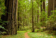 Path Through The Redwood Forest.