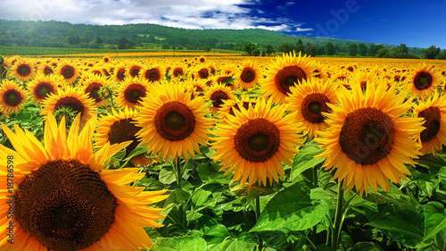 La pose en embrasure Tournesol Tournesols