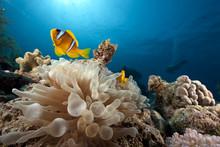 Anemone And Anemonefish