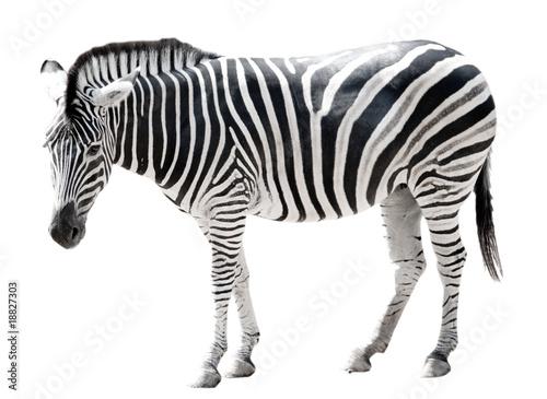 Poster Zebra Zoo single burchell zebra isolated on white