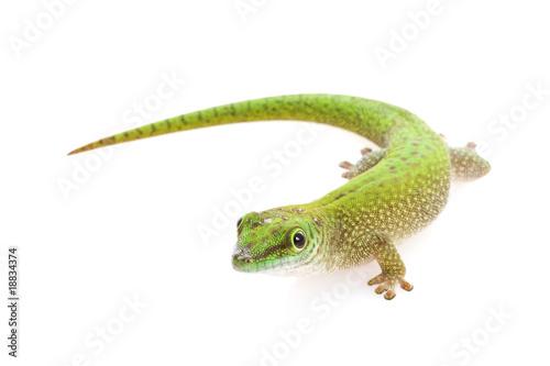 Staande foto Kameleon Koch¡¯s Giant Day Gecko