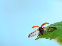 Ladybird Starting A Flight.
