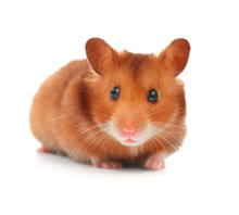 Hamster Isolated On White