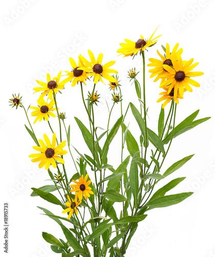 yellow rudbeckia Fototapet