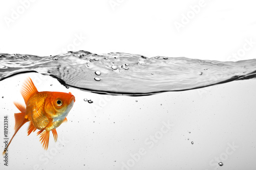 Tablou Canvas goldfish in water
