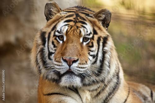 Spoed Foto op Canvas Tijger Tigre