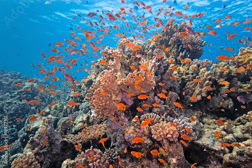 Poster Sous-marin Shoal of anthial fish on the coral reef
