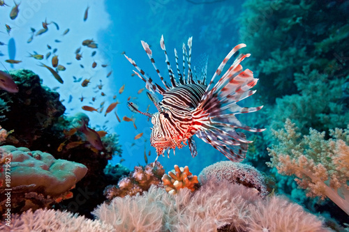 Foto auf Gartenposter Riff Lionfish on the coral reef