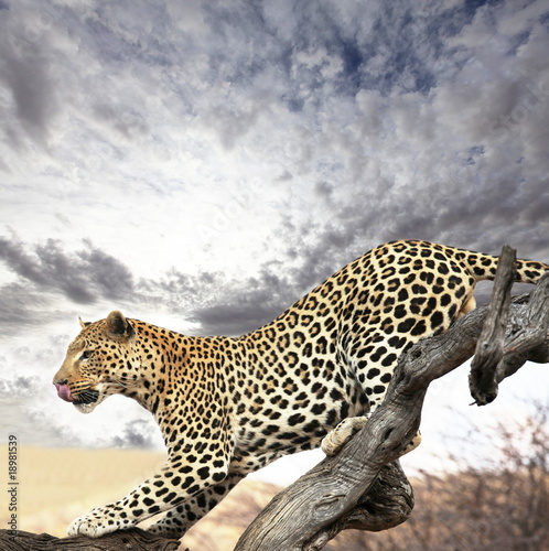 Foto op Plexiglas Luipaard Leopard