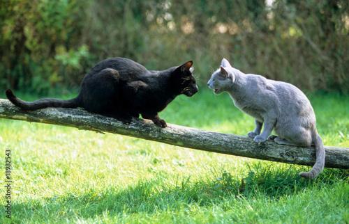 Photo rencontre de deux chats dans la nature - bagarre