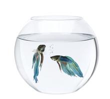 Blue Siamese Fighting Fish In Fish Bowl, Betta Splendens, In Fro