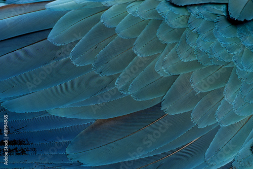 Photo sur Toile Les Textures Close-up of Blue-and-yellow Macaw's feathers, Ara ararauna
