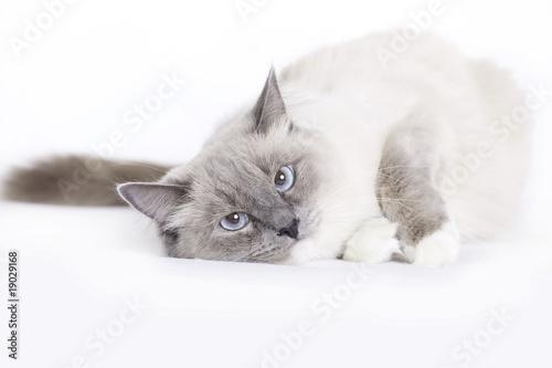 Valokuvatapetti Sleepy cat, Ragdoll