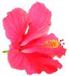 Leinwandbild Motiv fleur rose hibiscus fond blanc