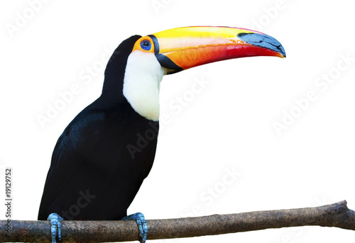 Tuinposter Toekan Beautiful Toucan on White Background.