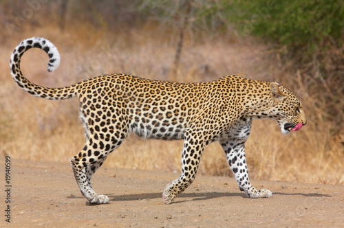 Poster Leopard Leopard walking on the road