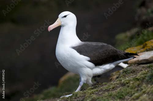 Black-browed Albatross - Adult Canvas-taulu