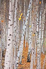 Panel Szklany Podświetlane Brzoza Birch trees