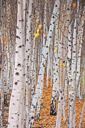 In de dag Berkbosje Birch trees