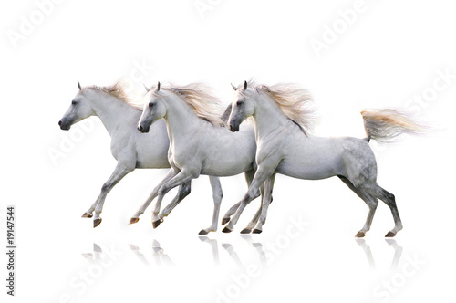 Fototapety, obrazy: three white arab horses on white