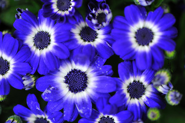 Plakat blue flowers