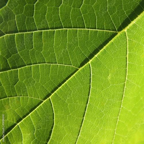 Zielony liść - fototapety na wymiar