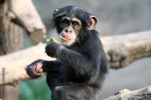 In de dag Aap Schimpansenjunges