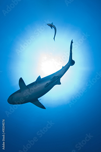 Photo requin