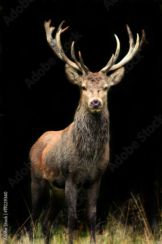 Photo sur Aluminium Cerf Rothirsch