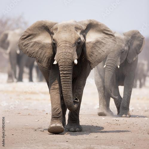 Fotografie, Obraz  Elephant herd