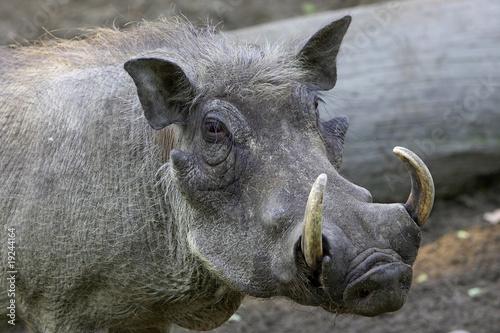 Photo  Warzenschwein 1