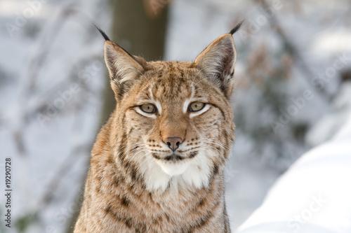 Poster Lynx Luchs-Porträt