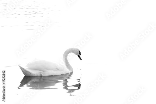 Poster Cygne The Swan & the Silent Lake