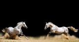 Fototapeta Konie - two stallions