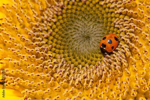 Valokuva  Sunflower and ladybirds