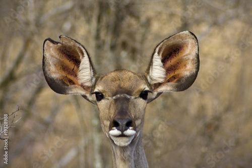 Garden Poster Antelope Ohren auf