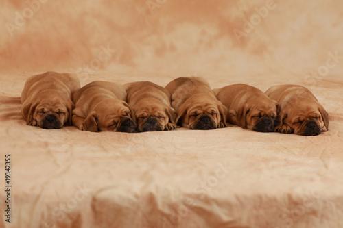 Schlafende Puggle Welpen #19342355
