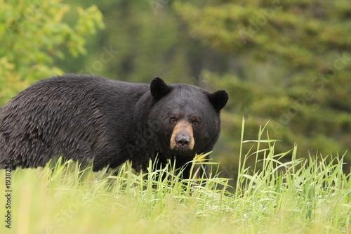 Fotografie, Tablou  large male black bear