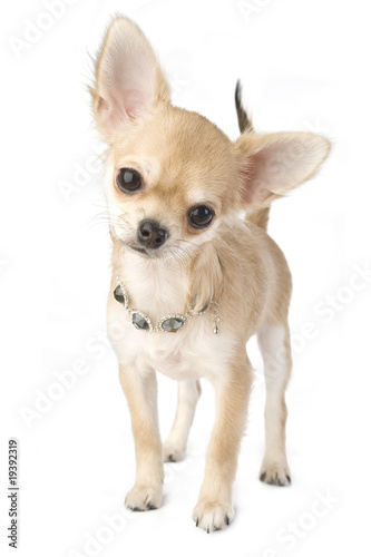 chihuahua puppy with necklace portrait isolated Poster
