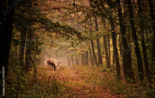 Fotobehang Hert Red deer in a forest