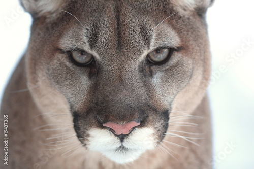Canvas Prints Puma Cougar