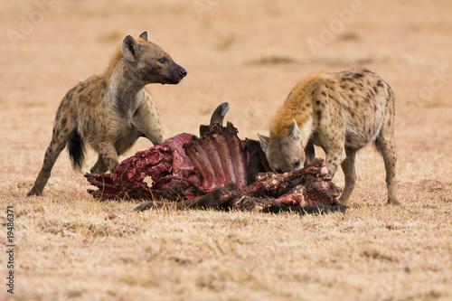 In de dag Hyena Hyäne am Gnu Fressen