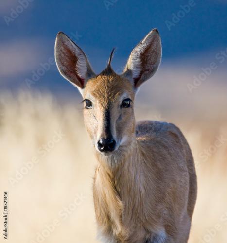 Spoed Fotobehang Antilope Common Duiker