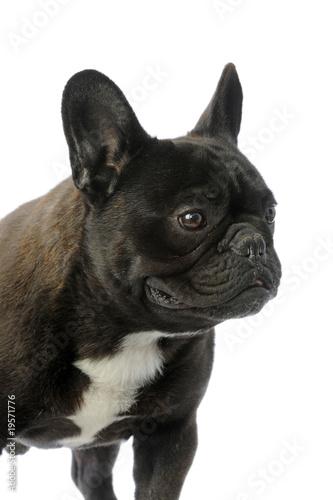 Tuinposter Franse bulldog portrait de profil d'un bouledogue français sur ses gardes