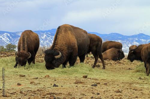 Papiers peints Buffalo Healthy American buffalo grazing in the West
