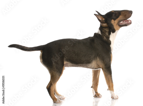 Carta da parati bull terrier with happy expression standing looking up